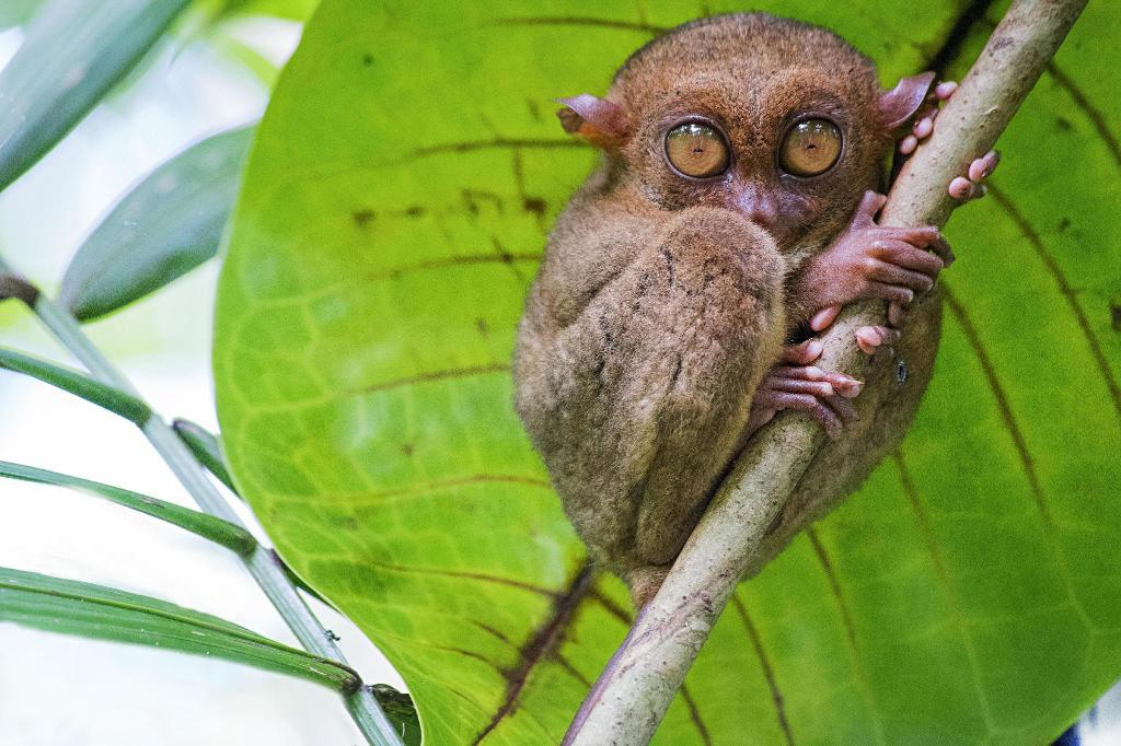Philippine Tarsier - 7.89 km from property